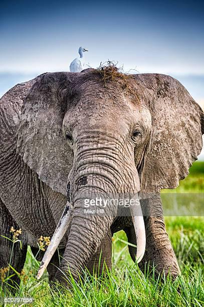 African elephant in Marshland