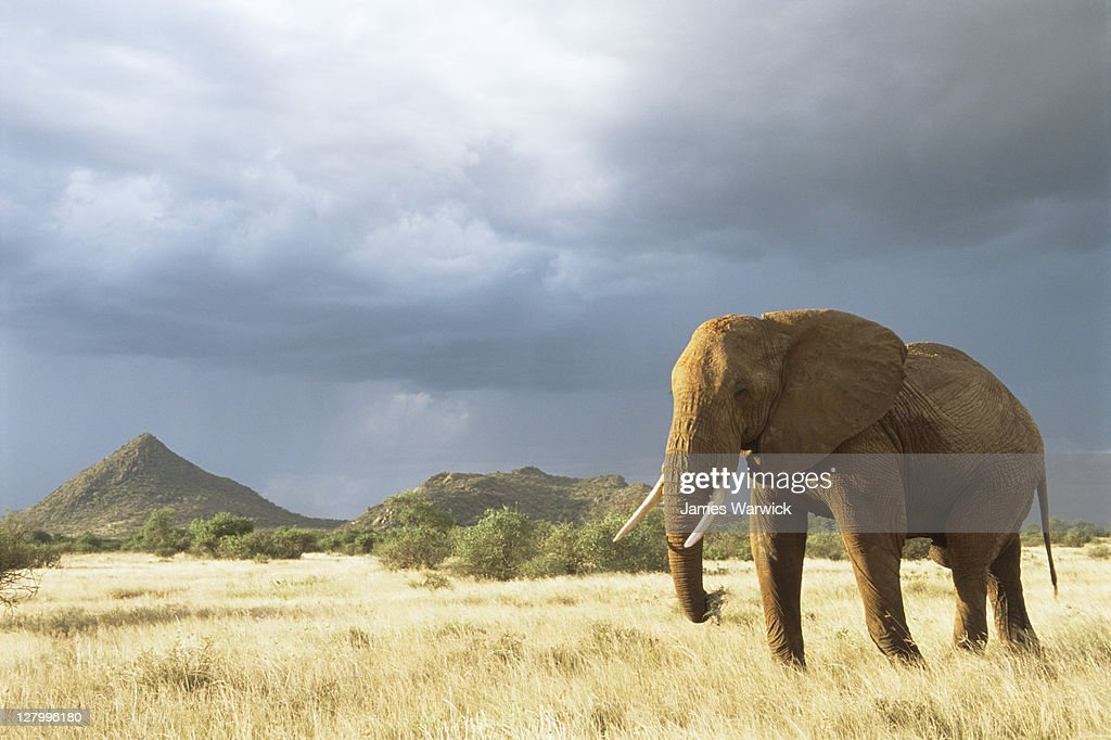 African elephant in storm light : Stock Photo