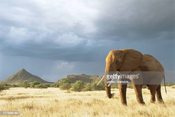 African elephant in storm light