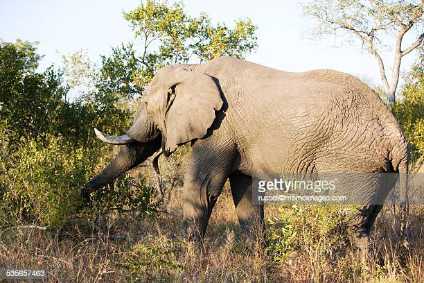 African elephant in the wild, South Africa