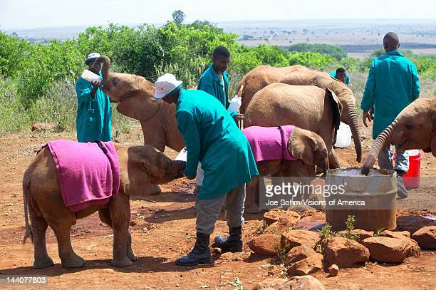 African Elephant keeper with Adopted Baby African Elephant at the David Sheldrick Wildlife Trust in Nairobi Kenya