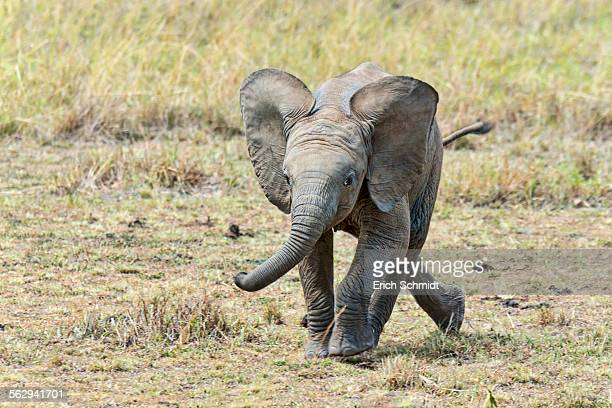 African Elephant -Loxodonta africana-, calf, 3 months, Maasai Mara, Kenya