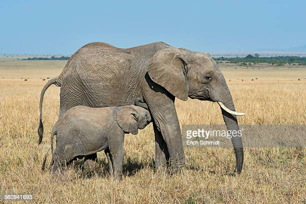 African Elephant -Loxodonta africana-, cow with calf, Maasai Mara, Kenya