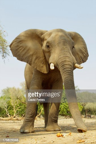 African Elephant, Loxodonta africana, feeding on acacia pods