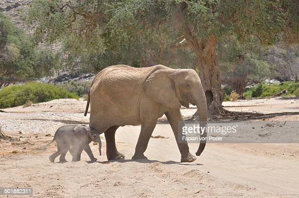 African elephant -Loxodonta africana-, female desert elephant with young, in the dry riverbed of the Hoanib ephemeral seasonal river, Kaokoveld, Namibia