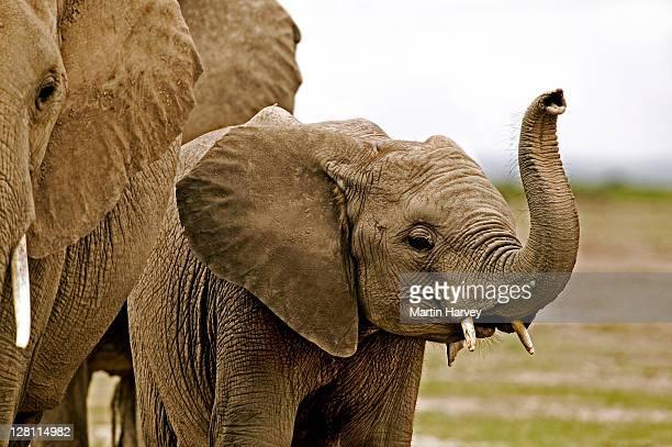African Elephant, Loxodonta africana. Sub adult with trunk raised to smell surroundings. Amboseli National Park Kenya. Dist. Sub-saharan Africa