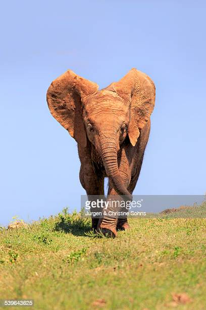 African Elephant -Loxodonta africana-, young, Addo Elephant National Park, Eastern Cape, South Africa