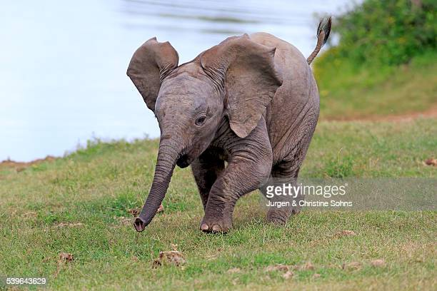 African elephant -Loxodonta africana-, young animal, running, Addo Elephant National Park, Eastern Cape, South Africa