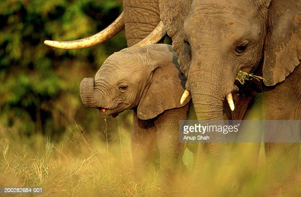 African elephant (Loxodonta africana) mother and calf