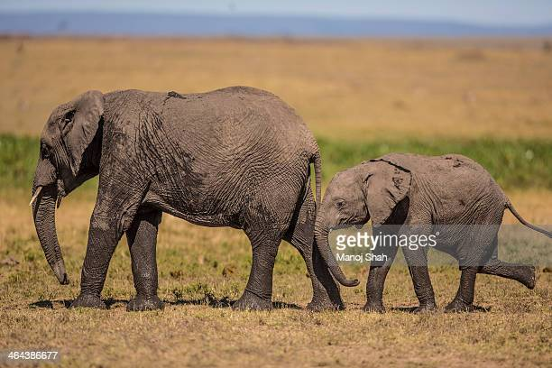 African Elephant mother with baby