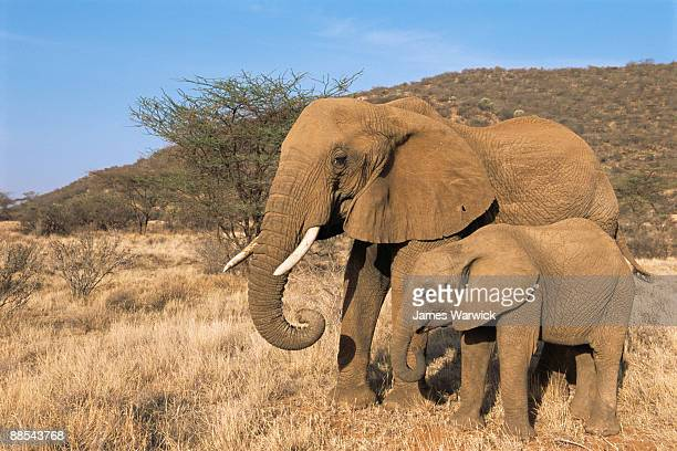 African elephant mother with calf