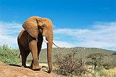 African elephant (male) on rock