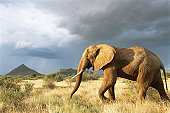 African elephant on the move in storm light
