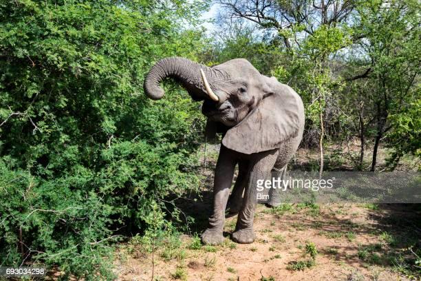 African Elefant