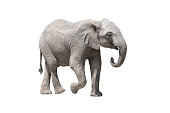 African elephant on the a white background