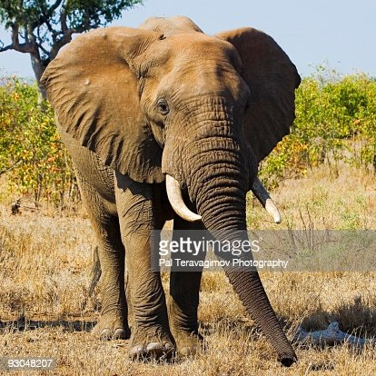 African Elephant : ストックフォト