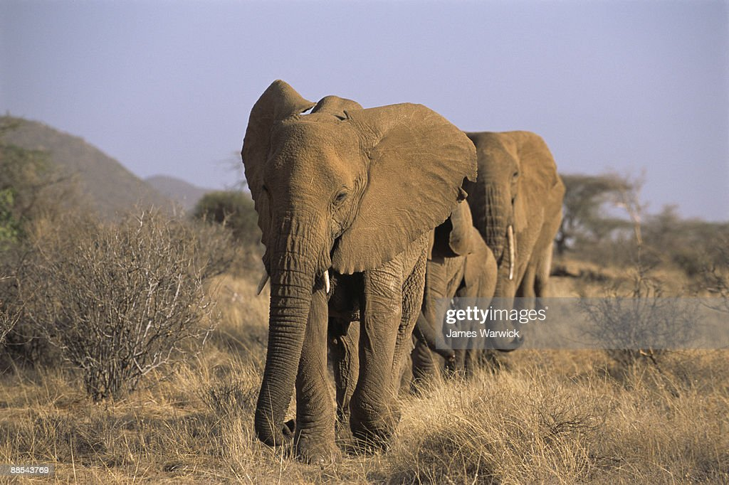 African elephant procession : Stock Photo
