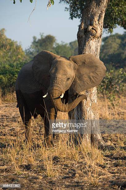 African elephant scratching himself on tree in South Luangwa National Park in eastern Zambia