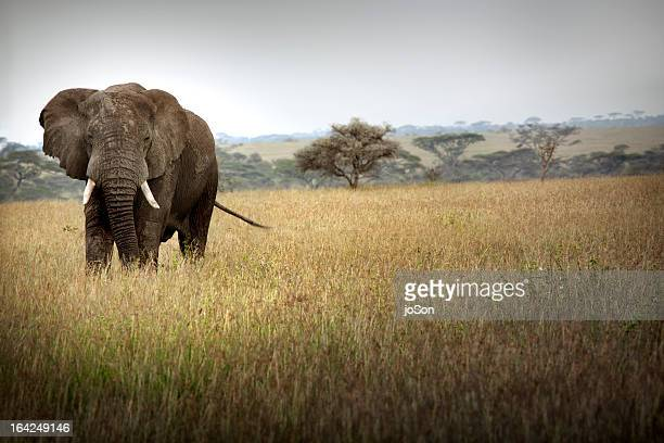 African elephant, Serengeti National Park
