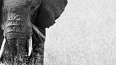 African elephant eating grass serengeti plains tanzania tusk ears black and white safari