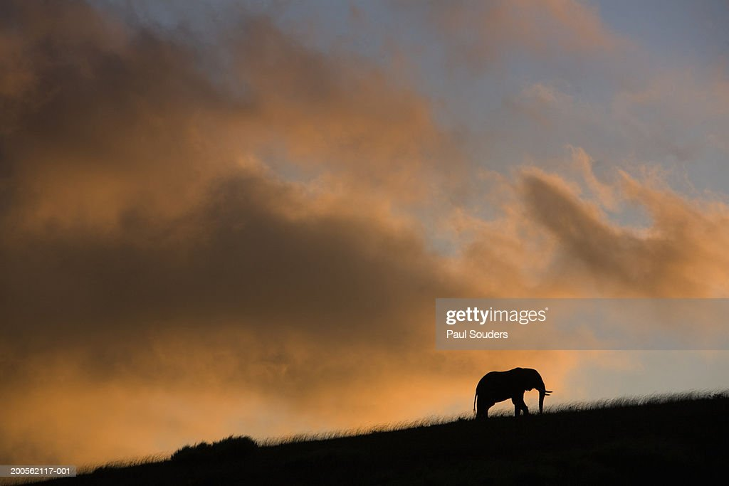 African elephant (Loxodonta africana) standing on ridge at sunset : Stock Photo