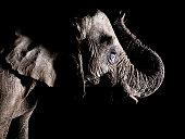 African elephant - trunk raised
