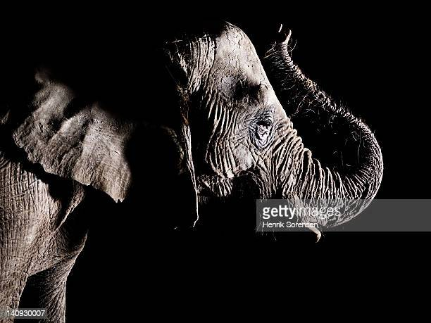 African elephant - trunk raised