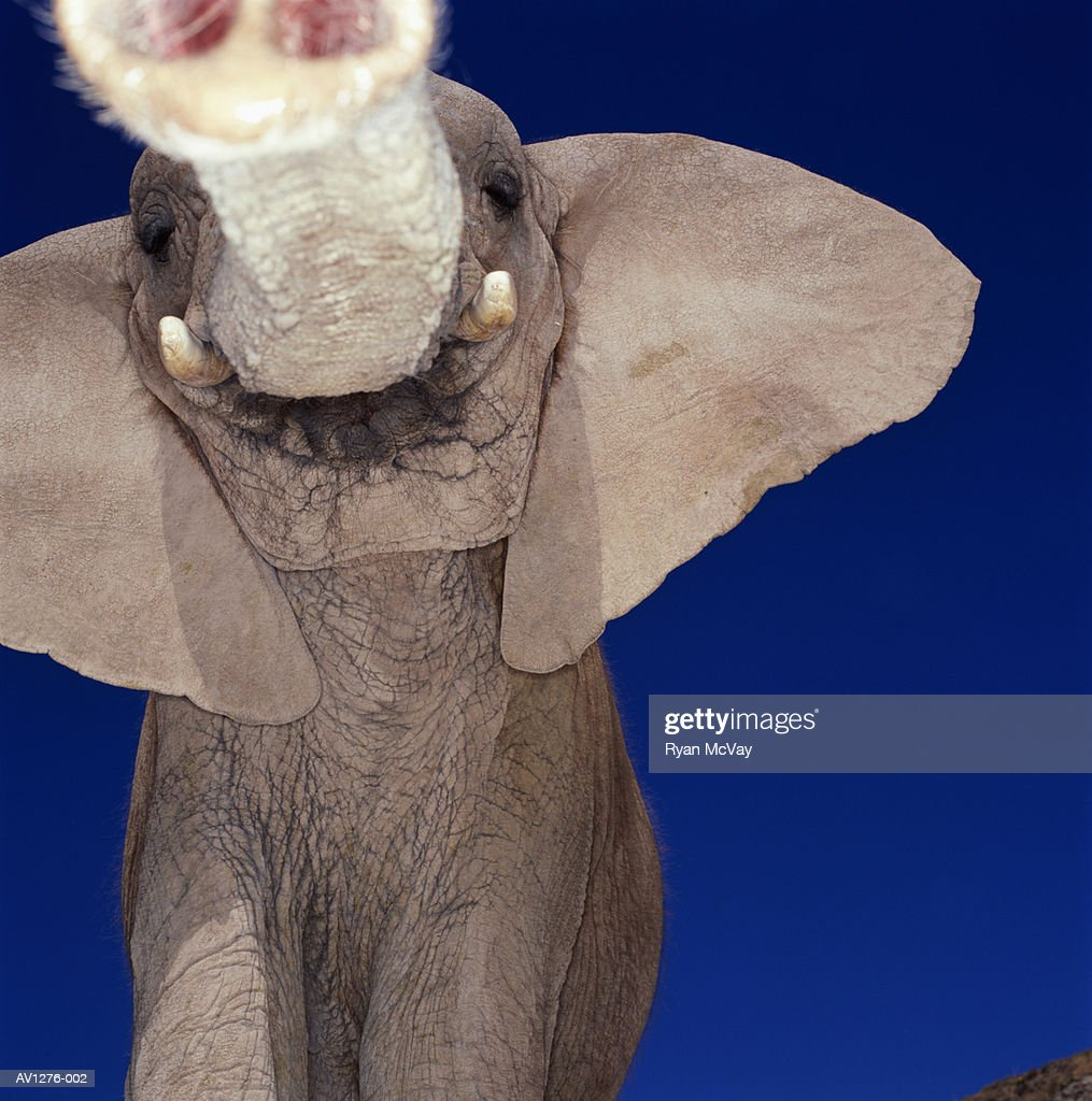 African elephant (Loxodonta africana) view from below : Stock Photo