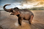 African Elephant wading with his trunk raised