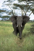 African elephant walking in the forest Serengeti National Park Tanzania