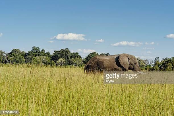 African elephant walking in Feuchtgebieten, Okavango Delta, Botswana