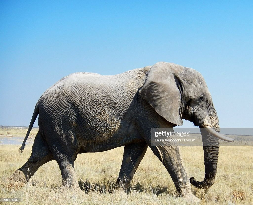 african elephant stock photos and pictures getty images