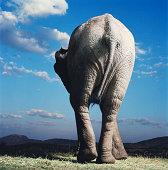 African elephant walking, rear view