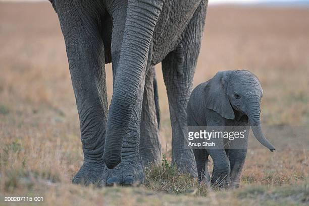 African elephant (Loxodonta africana) walking with calf, Masai Mara N.R, Kenya