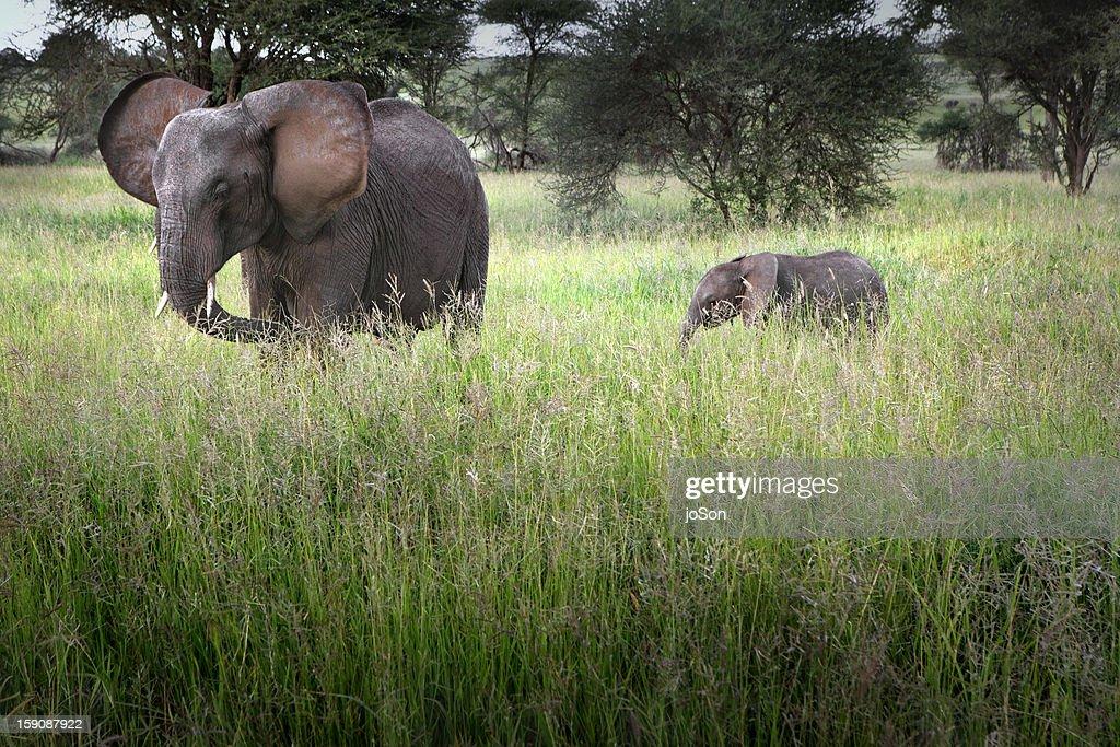 African elephant (Loxodanta africana) with calf : Stock Photo