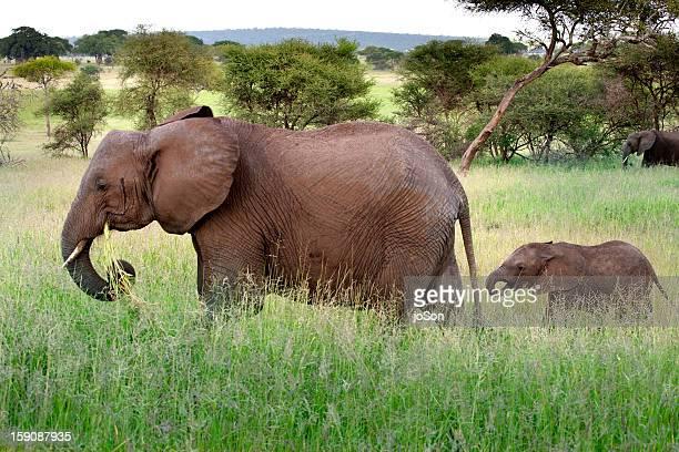 African elephant (Loxodanta africana) with calf.