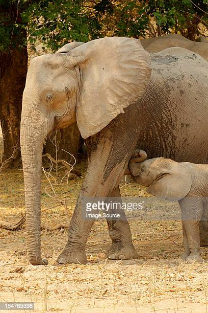 African Elephant with suckling calf, Mana Pools, Zimbabwe