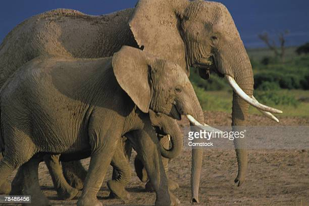 African elephant , with young