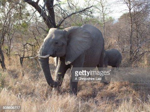 Elefantes africanos : Foto de stock