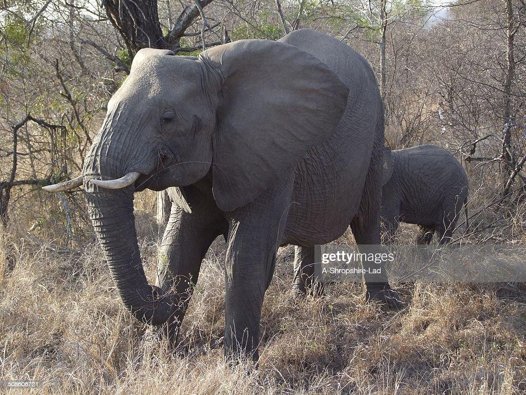 Los elefantes africanos : Foto de stock