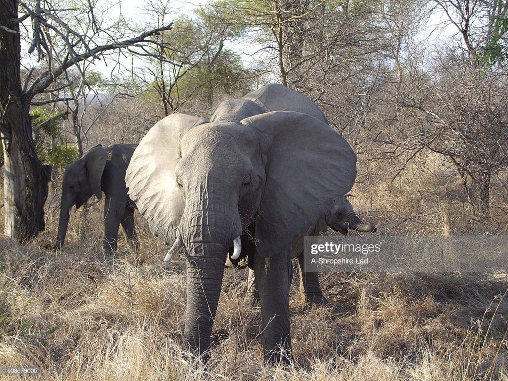 Afrikanische Elefanten : Stock-Foto