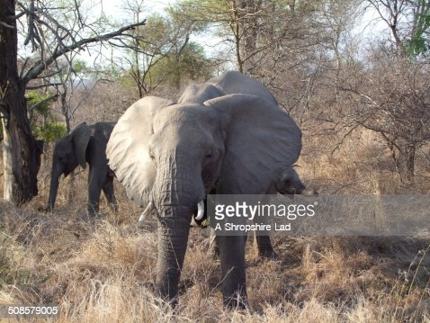 African Elephants 022 : Stock Photo