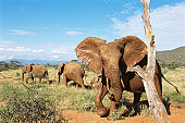 African elephants after mud-bathing