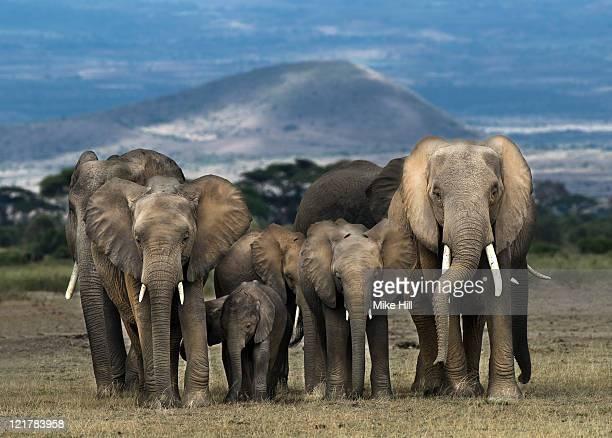 African Elephants (Loxodonta africana), Amboseli National Park, Kenya