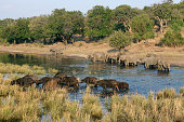 African elephants and buffalos wading in the Chobe river Chobe National Park Botswana South Africa