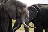 African elephants are pictured on November 18 2012 in Hwange National Park in Zimbabwe AFP PHOTO MARTIN BUREAU
