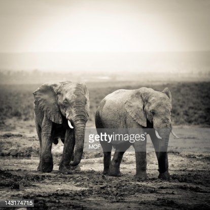 African Elephants at a watering hole : Stock Photo