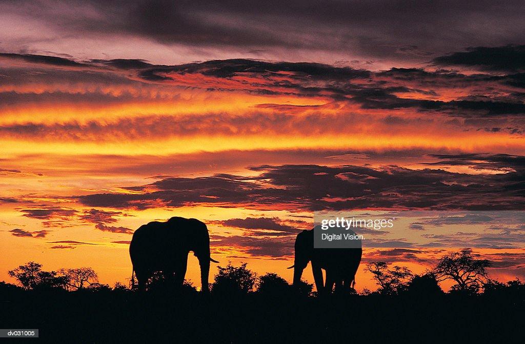 African Elephants (Loxodonta africana) at sunset, Savuti, Botswana : Stock Photo
