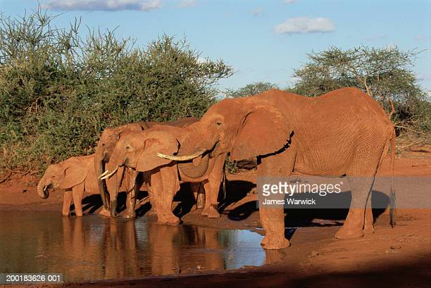 African elephants (Loxodonta africana) at waterhole