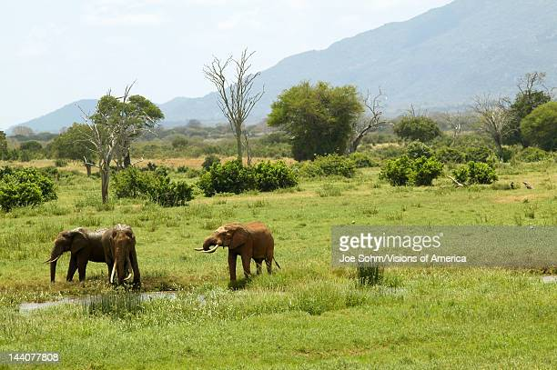 African Elephants at watering hole in Tsavo National Park Kenya Africa